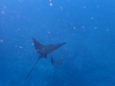 Spotted eagle rays glide through the water off the coast of Isla Isabela.