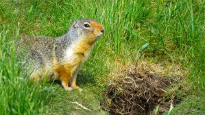 Squirrel in the Rocky Mountains