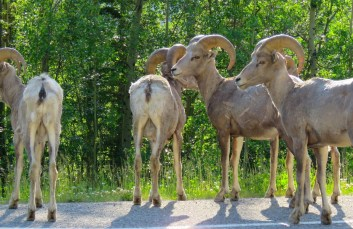 Mountain sheep in the Rocky Mountains