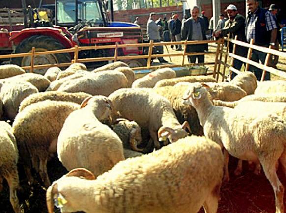 corderos a la venta en el mercado de ganado