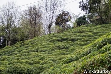 Plantación de té junto a la carretera de Trabzon a Rize
