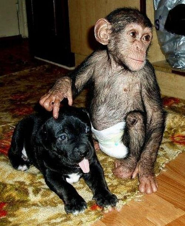Orphaned Baby Chimpanzee Gets Adopted by Dog - He even gets along well with the new pups.