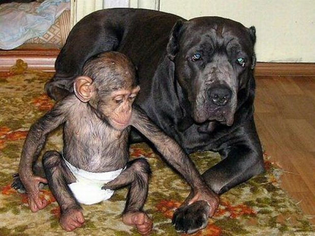 Orphaned Baby Chimpanzee Gets Adopted by Dog - The baby chimpanzee cares for his new mommy.
