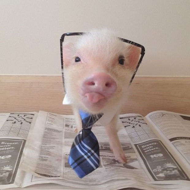"""Cute Mini Pigs Priscilla and Poppleton - """"I get first dibs on the crossword puzzle."""""""