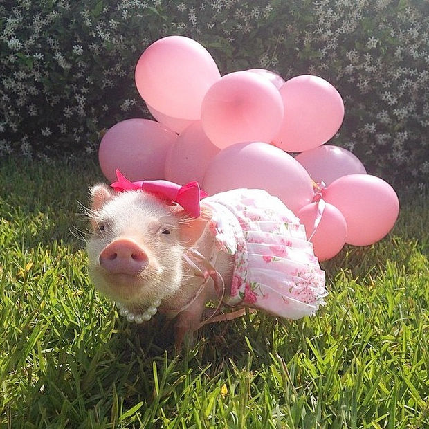 """Cute Mini Pigs Priscilla and Poppleton - """"I'm letting these balloon float up into the sky as a gift for my friend Diesel up in heaven"""""""