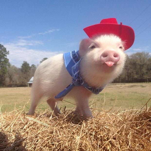 "Cute Mini Pigs Priscilla and Poppleton - ""Howdy partner!"""