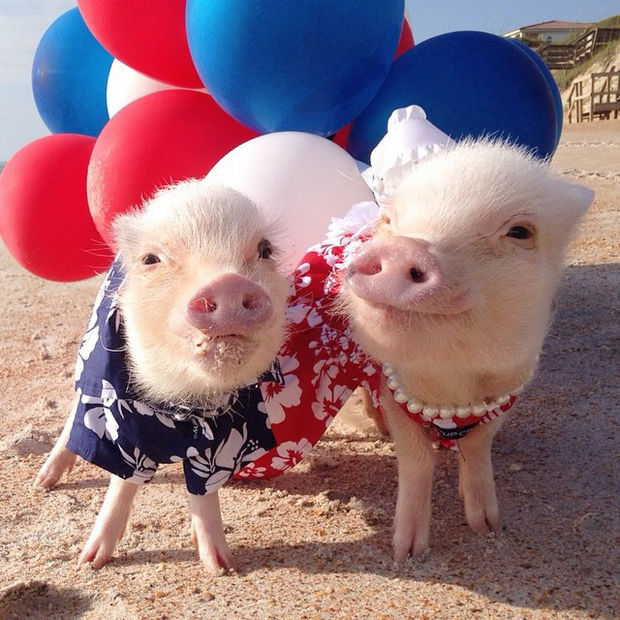 """Cute Mini Pigs Priscilla and Poppleton - """"Feeling patriotic with red, white and blue."""""""