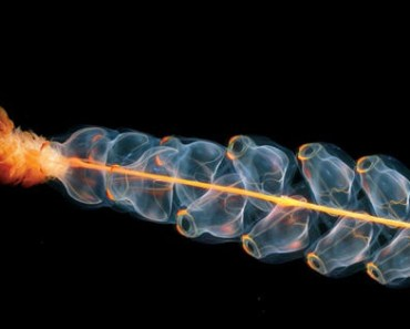 These sea creatures are not extra-terrestrials