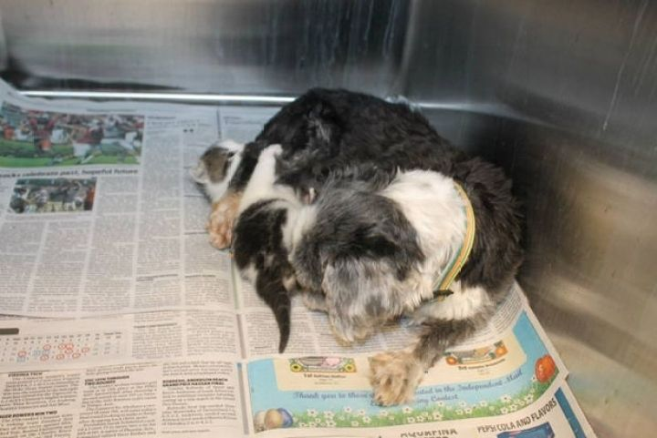Shih Tzu Cares for Kitten - They would also take naps together while in the shelter.