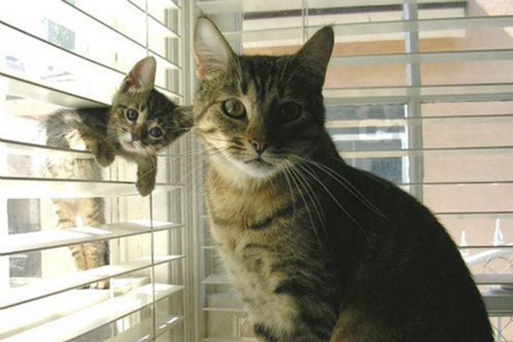 """30 Funny Cat Pictures - """"We're dusting the blinds."""""""