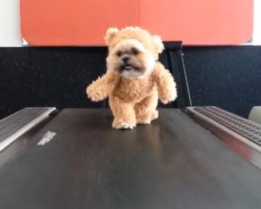 A Dog Dressed as a Bear Walking on a Treadmill Is so Cute.