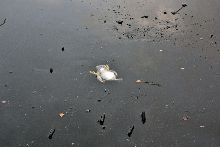 The duck then passed through the ice and was stuck underneath the ice and unable to break to the surface.