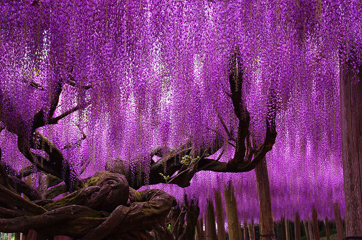 17 Picturesof the Prettiest Trees on Earth - 144-Year-Old Wisteria and Flower Tunnel In Japan.