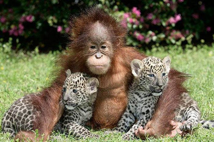20 Beautiful Images Showing an Animal's Unconditional Love - Orangutan and baby leopards.