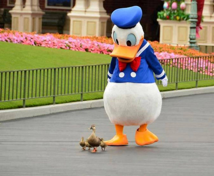 20 Beautiful Images Showing an Animal's Unconditional Love - Donald Duck leading the ducks.