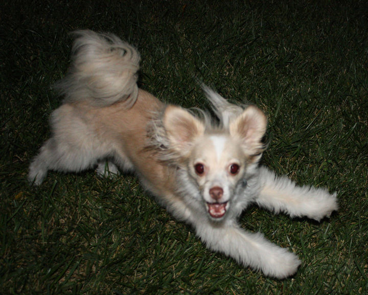 21 Mixed Breed Dogs: Chihuahua + Jack Russel + Papillon = Cuteness :)