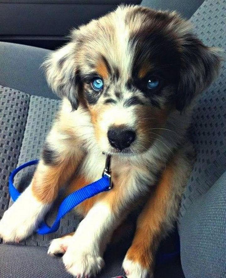 21 Mixed Breed Dogs: Golden Retriever + Siberian Husky = Goberian