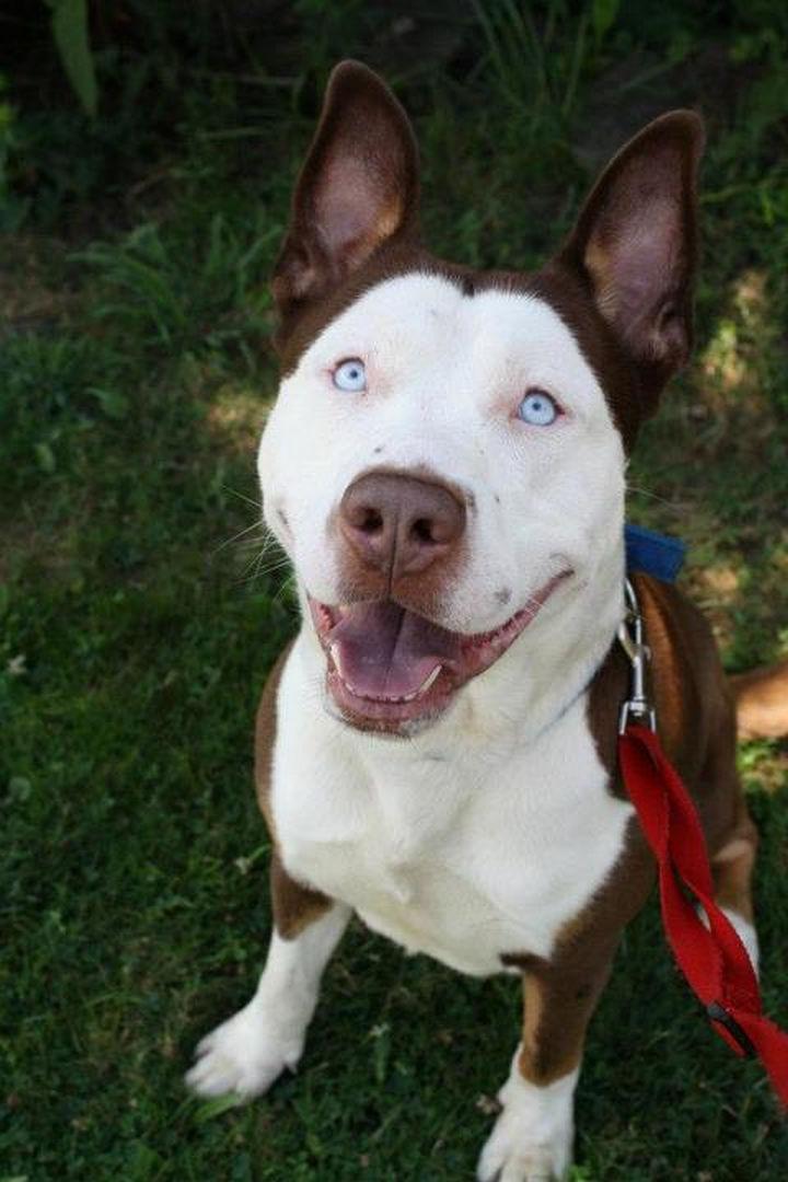 21 Mixed Breed Dogs: Pitbull + Husky = Pitsky