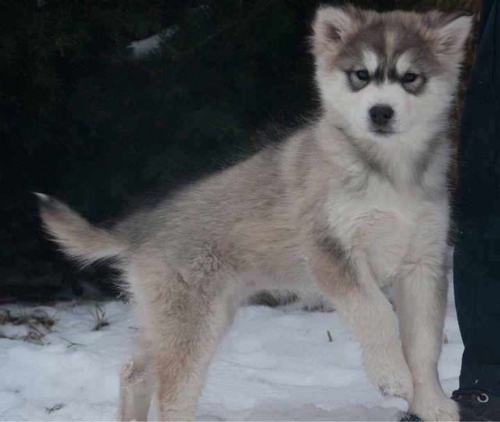 21 Mixed Breed Dogs: Alaskan Malamute + Siberian Husky = Alusky