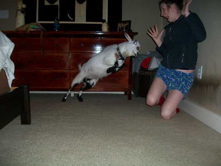 25 Photos Before Disaster Strikes - Attack of the jumping goats.
