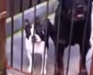 Boston Terrier Responds Back after His Owner Says 'Hello'.