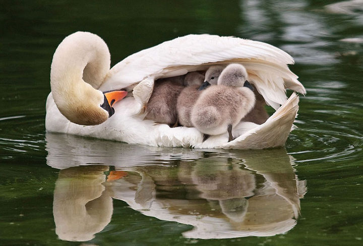 21 Animals and Their Young - Mother swan takes her cygnets under her wings.