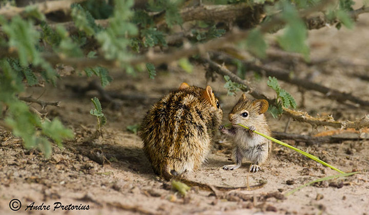 21 Animals and Their Young - A tiny grass mouse enjoying a snack with mommy.