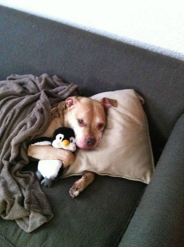 Reasons You Shouldn't Own a Pit Bull - They'll also hog your sofa.