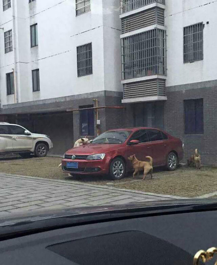 Dog Kicked by Driver Returns Later and Trashes His Car 03