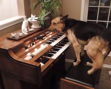 This Piano-Playing German Shepherd Impresses Everyone.