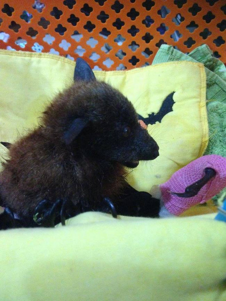 This little bat had an injured wing which is healing with a cast.