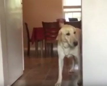 Arty the Golden Retriever Hilariously Overcomes His Fears.