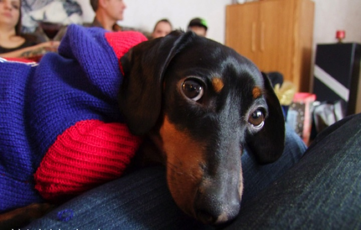 """28 Cute Dachshunds - """"How can you say NO to this face? Cute Dachshunds are for real!"""""""
