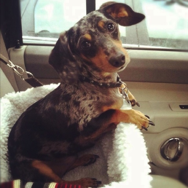 """28 Cute Dachshunds - """"Are we going to the pet store to get some treats?"""""""