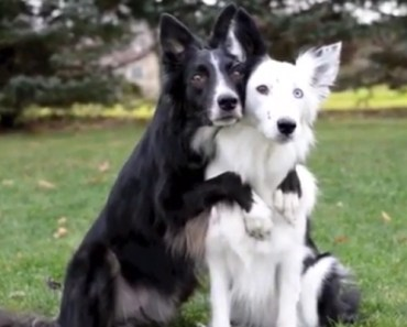 Border Collies Envy and Zain Showing Some Love for the Camera.