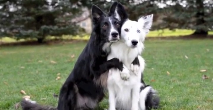 Border Collies Hugging - Envy and Zain Showing Some Love for the Camera.