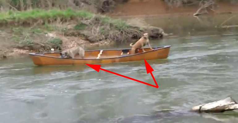 Labrador Saves  Dogs In Canoe