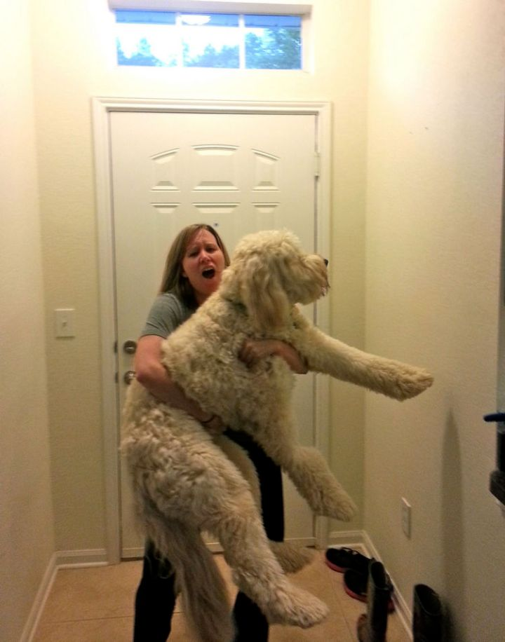"""12 Huge Dogs That Still Think They Are Puppies - """"Just threw my back out trying to hold my 90lb goldendoodle like a baby..."""""""