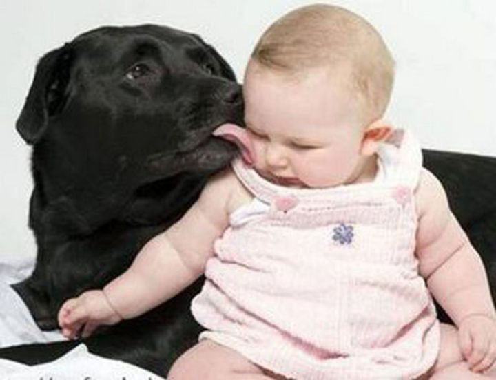 14 Dogs and Babies - Labradors are great with kids.