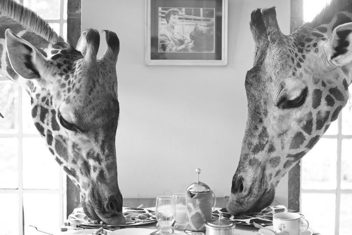A lovely table for two at Giraffe Manor. Giraffes love eating lucerne grass and carrots but they love to lick salt blocks even more!