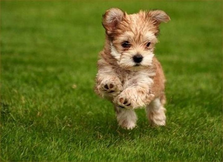 25 Super Cute Fluffballs - Some Terrier fluffiness.