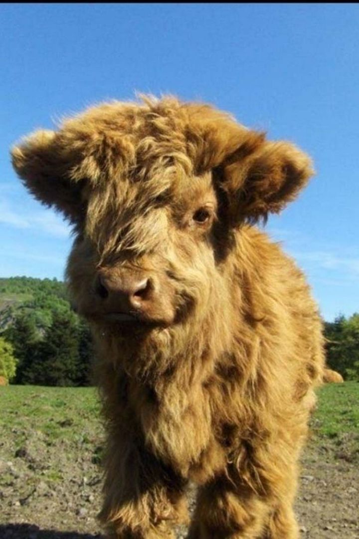 25 Super Cute Fluffballs - This Highland calf is covered in fur...gorgeous!