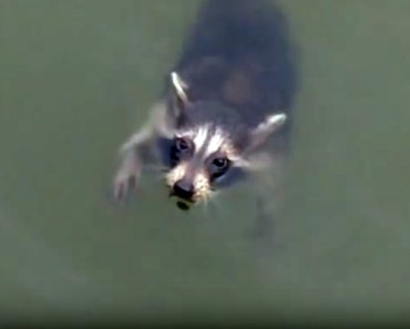 Boaters Rescue a Helpless Raccoon in Swann Creek.