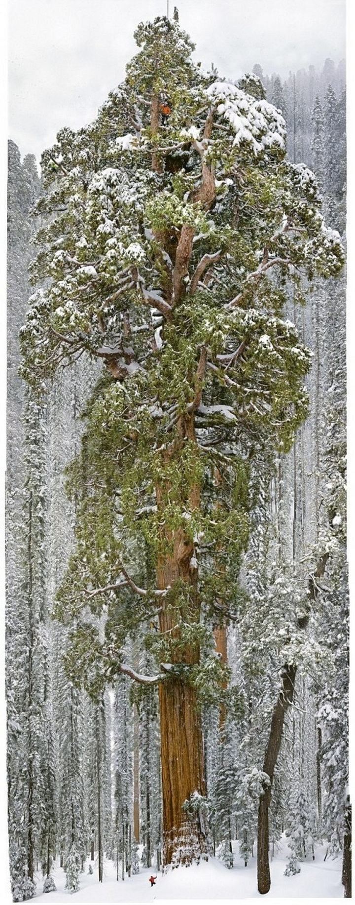 """""""The President"""" sequoia tree is the second largest tree in the world. It is 27 feet in diameter, 247 feet in length, has 2 billion leaves, and is 3,200 years old!"""