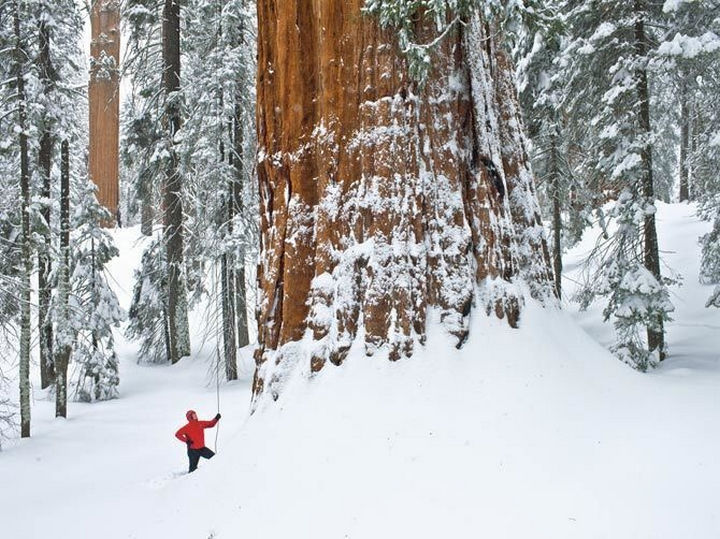 The size of the trunk next to this climber demonstrates just how huge this tree really is!