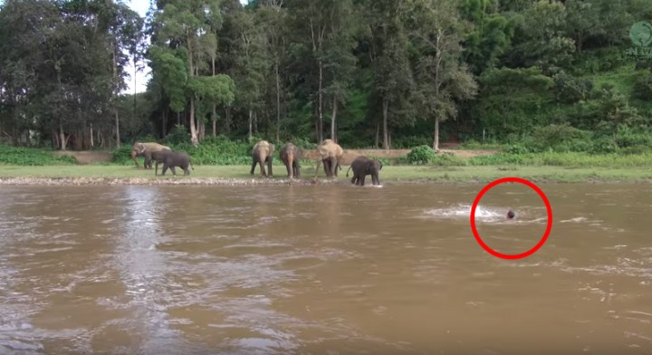 Elephant Rescues Her Caretaker Drowning in a River.