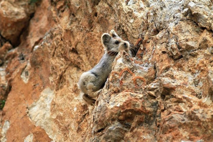 The adorable Ili Pika lives in the Tianshian mountains in northwestern China and is extremely rare.