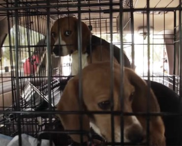 Beagle Freedom Project Rescues 9 Beagles From Nevada Laboratory.