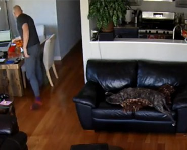 Exhausted Dog Unfazed After Falling of the Couch While Sleeping.