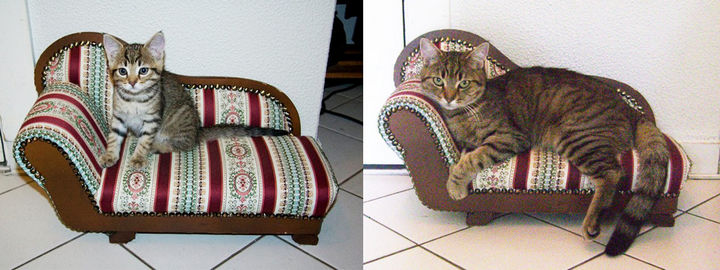 29 Before and After Photos of Family Cats - All grown up, she enjoy her sofa chair even more.